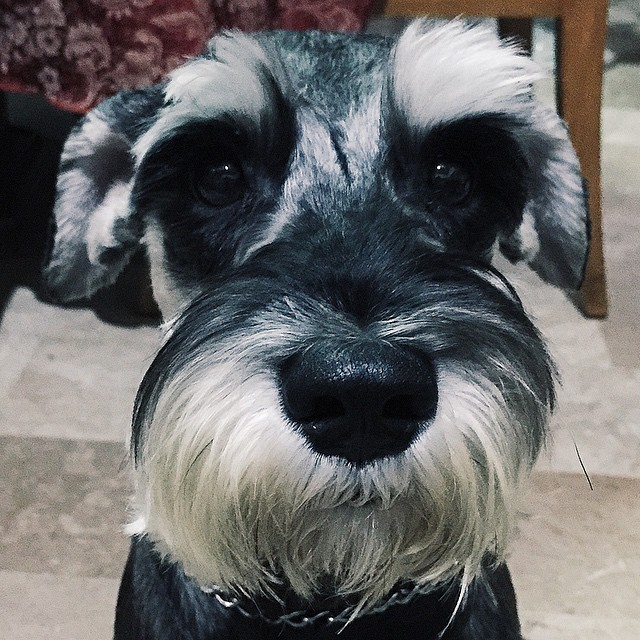 Tommy: Mama, I'm having Monday Blues. Can I get extra treats, please? #theface #howtoresist #cutedogs #minischnauzer #miniatureschnauzer