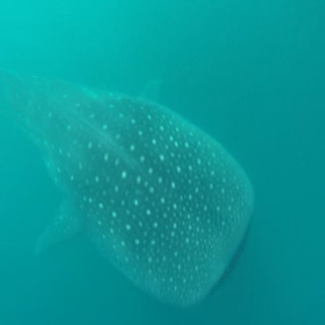 the chase was tiring but worth it! ? #WhaleShark #butanding #donsol #sorsogon